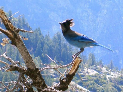 Bluebird at Yosemite