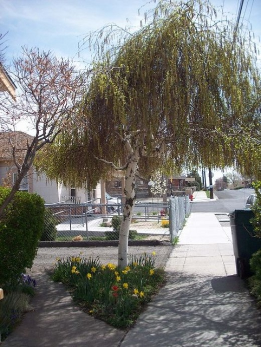 Weeping Willow and Blooming Spring Flowers