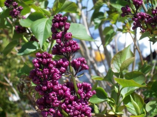 Flower Buds on Flower Bush