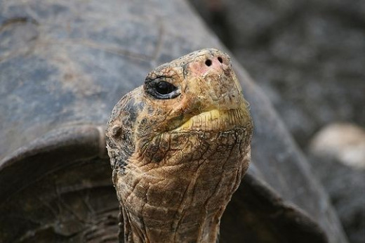 Galapagos Giant Tortoise Picture by Taraji Blue