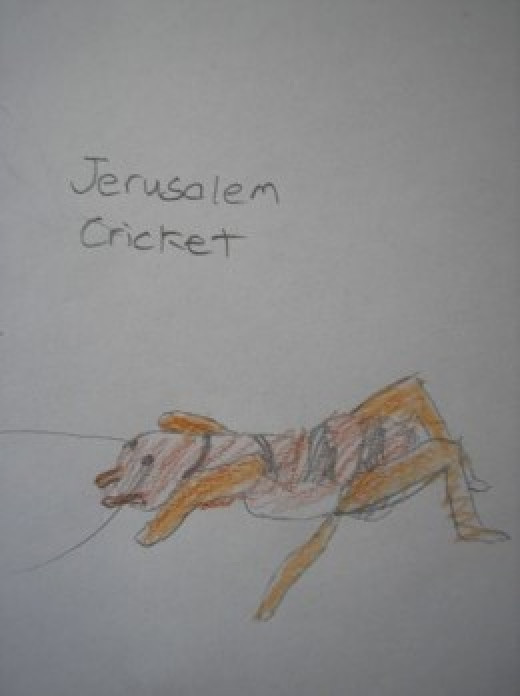 Jerusalem Cricket colored pencil sketch nature journal