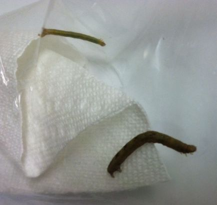 These are the caterpillars that ate stripped the leaves of this plant.