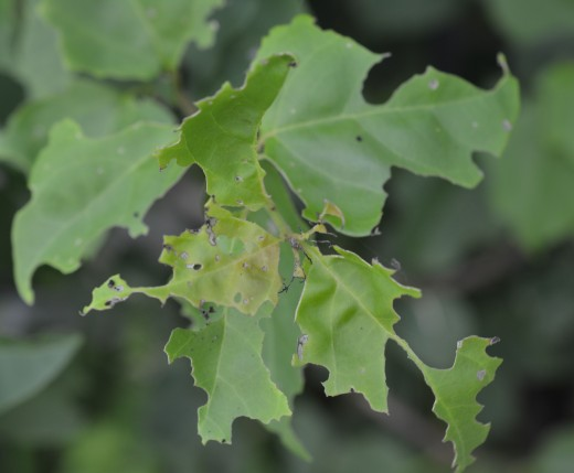 This is how the leaves appear after a night with hungry caterpillars.
