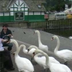 Hand Feeding Swans in England