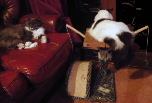 Maine Coon cats and their scratcing post repaied with decking.