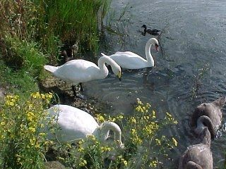 Whooper and Mute Swans as a family