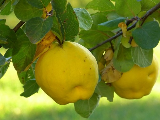 Image credit: http://pixabay.com/en/quince-fruit-plant-journal-tree-65178/
