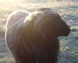 Frost on the back of our black ram