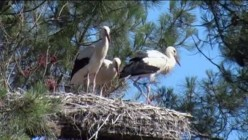 Storks Nesting in French Ornithological Park