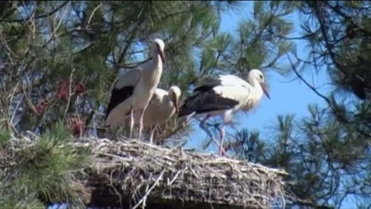 Storks nesting in their natural habitat