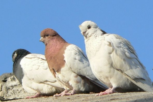 Three Domesticated Pigeons Sitting Together