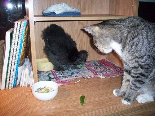 Sweet Tweets eating treats by herself, while kitty Marin looks on. He's wondering why she's so excited about such yucky food.