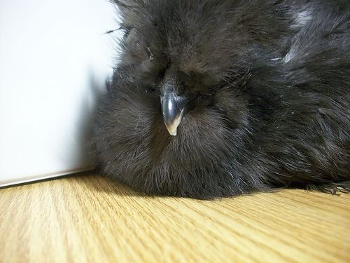 Silkie Chicken Sweet Tweets Face