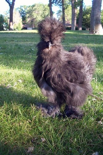Silkie Chicken at Park