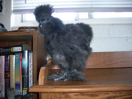 Curious Silkie Chicken