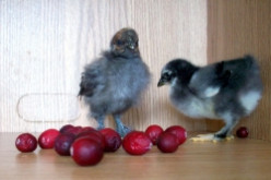 Toys and Activities for Pet Chickens