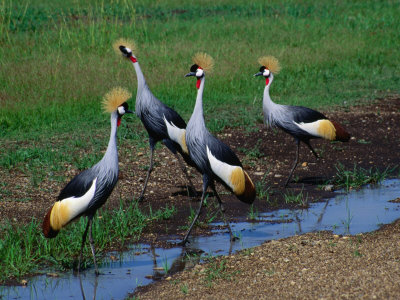 Four Grey Crowned-Cranes