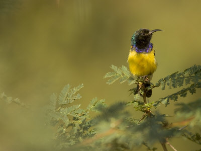 African Sunbird Perched on an Acacia Tree
