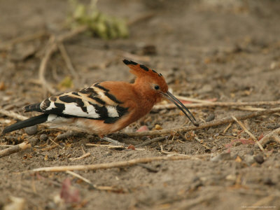 African Hoopoe - Bird Foraging on the Ground