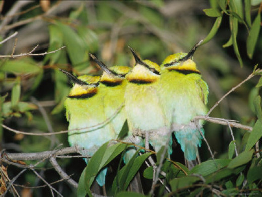 A Group of Rainbow Bee-Eaters Sleeping Huddled Together