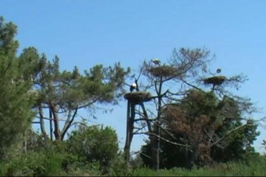 Storks nesting in trees