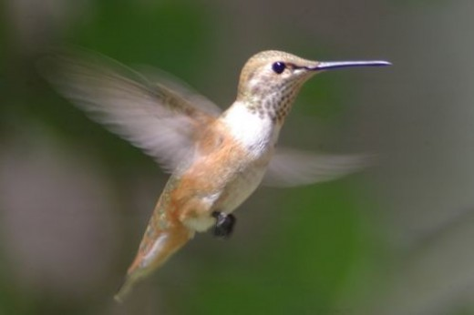 Rufous Hummingbird. Selasphorus rufus. Female.