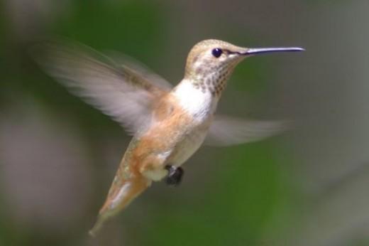 Rufous Hummingbird. Selasphorus rufus. Female.