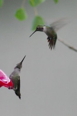Two hummingbirds having a, um, heated discussion.