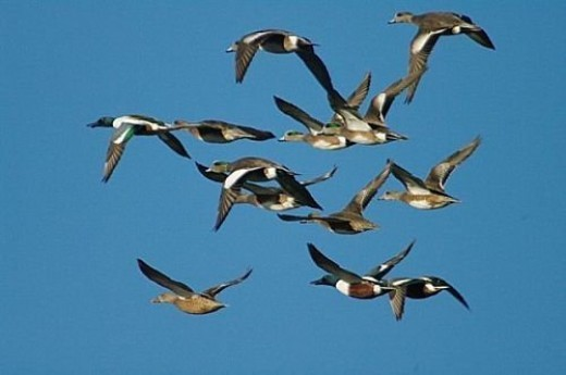 Mixed flock of Northern Shovelers and American Wigeons (Anas americana). The Wigeons are the ones with short bills.