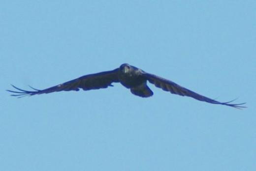 Probably a Common Raven. Corvus Corax.