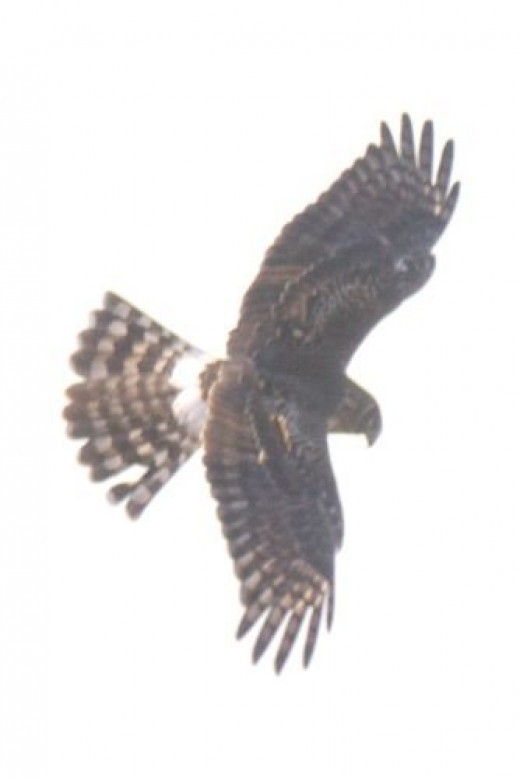 Northern Harrier. Circus cyaneus. His face looks like that of an owl.