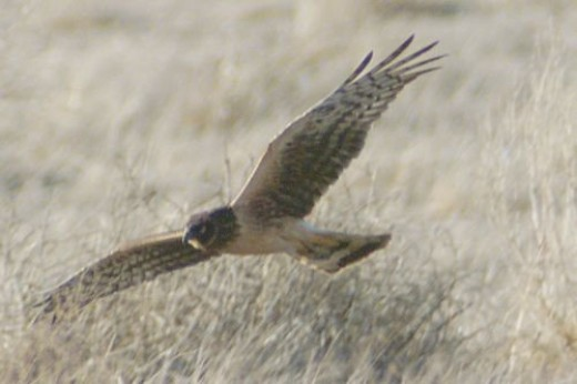 Northern Harrier.