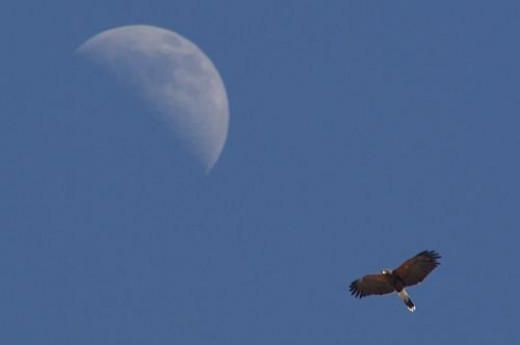 Harris's Hawk with Moon. A fortuitous moment.