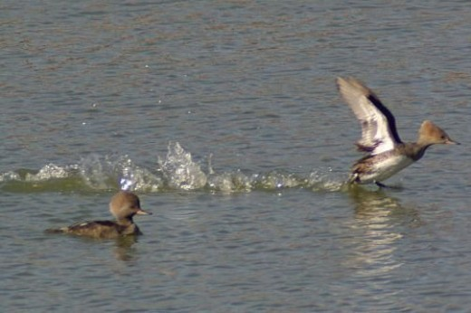 The female is taking off.
