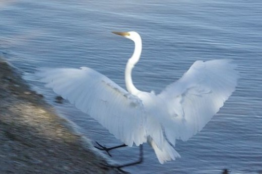 Great Egret Landing. Surprisingly, a shot like this is somewhat difficult, because they fold their wings so fast.