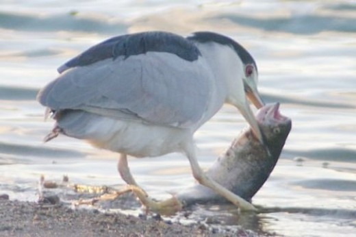 He didn't get his meal, either. The fish was too big to swallow, and he lost it. It had been left on the beach by a fisherman.