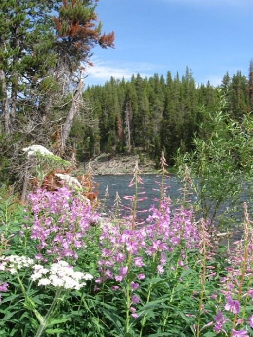 More wildflowers along the Yellowstone River near Hayden Valley and the LeHardy Rapids