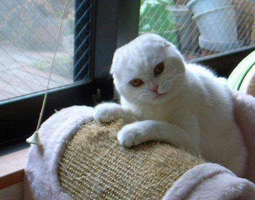 Lovely white Scottish Fold cat