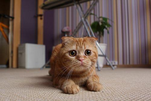 Scottish Fold kitten about to pounce