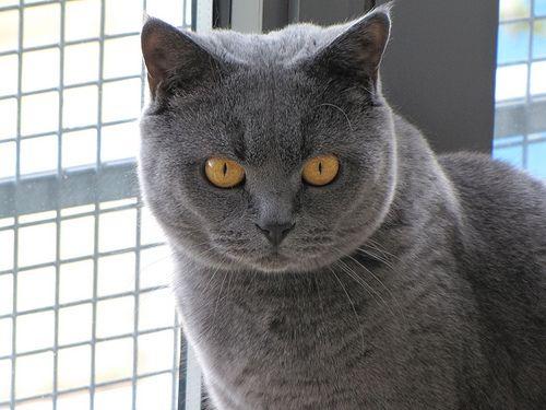 Picture of Blue British Shorthair Cat
