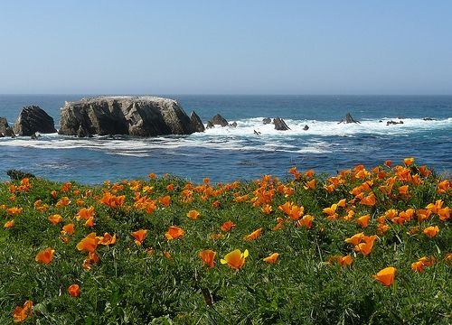 California Poppies along the Pacific Coastline