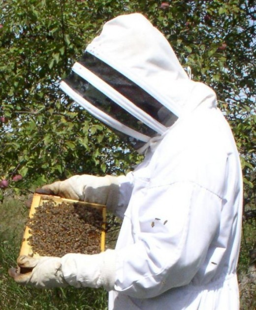 Beekeeper inspects a hive.