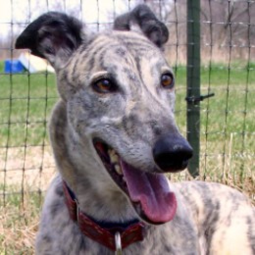 silver brindle greyhound © Flycatcher