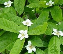 Medlar tree flowers
