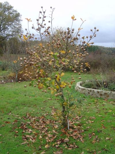 A Young Medlar Tree in Limousin