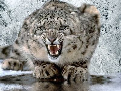 You walk through a WELL airconditioned building and find the SNOW Leopard! She's a bit cranky today