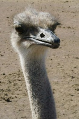 They say the ostrich brain is about the size of one of their eyes.