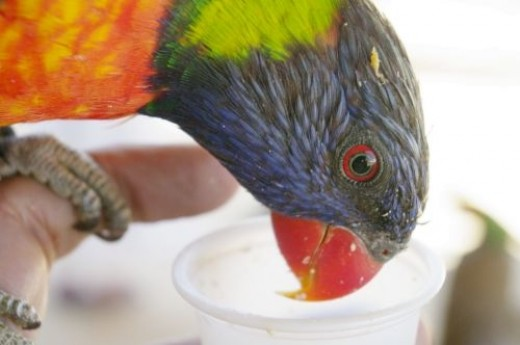 I stretched my arm out as far as I could so I could take a picture of the lorikeet eating from my cup.