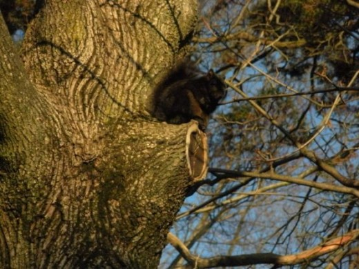 Posing Black squirrel