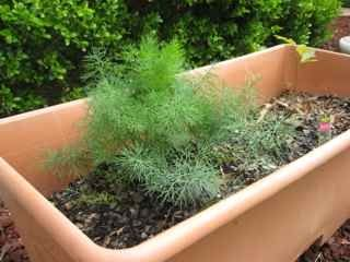 Fresh dill growing in an Earth Box